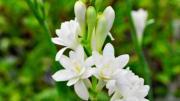 Hoa trắng dâng Mẹ (Thái Nguyên - Thi Thơ)