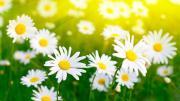 Khúc hát một loài hoa (Ân Đức - Mai Thiên Vân & Nhóm Hoan ca)