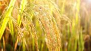 Hạt lúa dâng Người (Ân Đức - Quốc Đại)