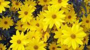 Hoa vàng dâng Mẹ (Thái Nguyên - Tuyết Mai Ly)